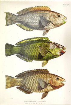 Vintage FISH PRINT 1990 Art Book Plate 94 by NaturalistCollection, $5.00