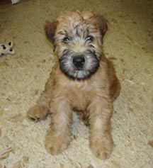 Soft Coated Wheaton Terrier, yes please