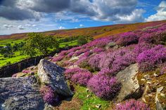 heather in the English moors...just like the Secret Garden