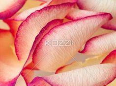 bi-color peachy pink rose petals - Scattered alluring Bi-color Peachy Pink Rose Petals.