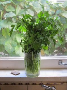 Parsley in a window… - Want to be able to indentify plants with your mobile phone? Check out GardenAnswers.com!