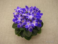 African Violet - Little Axel