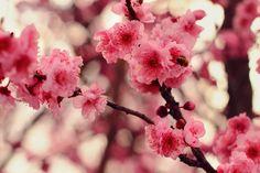 "Blossom by squalleden.deviantart.com on @DeviantArt ""A Plum Tree Blossoming in Pink."" : )"