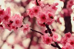 "Blossom by squalleden.deviantart.com on @DeviantArt ""A Plum Tree Blossoming in Pink."" : )"