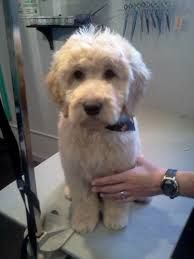 Teddy Bear style Goldendoodle Grooming