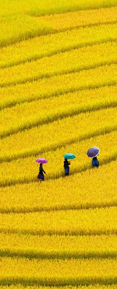 Vietnam closeup: Golden rice field