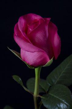 XCITE - Eden Roses Ecuador #Flowers #Roses #Ecuador #PrimeroEcuador #Ecuador #Rose #MitadDelMundo #ThePleasureOfBeauty #edenrosesec #EdenRosesEcuador