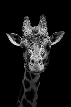 Giraffe, Bullet Journal, Posters, Wallpapers, Mood, Grey, Awesome, Animals, Black