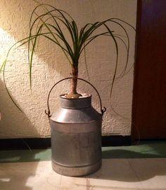 1000 images about pata de elefante planta on pinterest - Planta pata de elefante ...