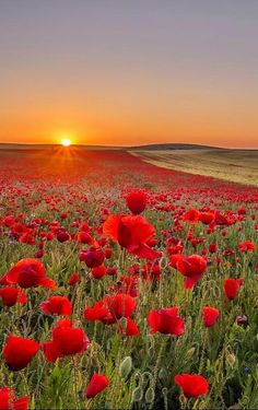 Poppies and Coreopsis Wallpaper Flowers Nature Wallpapers) – Funny Pictures Crazy Beautiful World, Beautiful Gardens, Beautiful Flowers, Nature Pictures, Beautiful Pictures, Beautiful Sunrise, Nature Wallpaper, Field Wallpaper, Amazing Nature