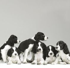 Sharon Montrose - Commercial Animal Photographer, Dog Pictures, Dog Photographer, Pet Photography: Springer Spaniel Puppies