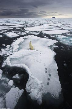 Oso polar en los hielos cerca de Svalbard, Noruega - Polar bear sea ice in Svalbard