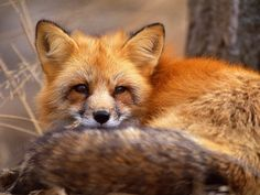 Animal facts: Foxes