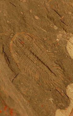 http://www.westerntrilobites.com/trilobites/oryctocephalus-nyensis/oryctocephalus-nyensis.jpg