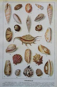 Vintage lithograph seashell print