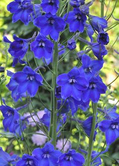 Buy Delphinium Belladonna Grp enkelbloemig 'Volkerfrieden' in flowers' catalog from Export Unie Flora — selling and delivery of flowers and plants Delphinium from Holland