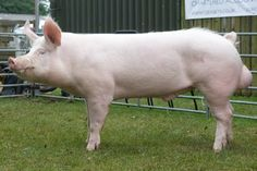 yorkshire pig - Google Search