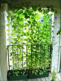 Perfect Looking For Small Balcony Ideas For Your Apartment? Morning Glories Growing  Up Twine. Living Privacy Curtain For The Back Yard Or Apartment Balcony.