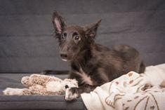 Floki - Silken Windhound puppy