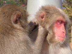 Macaca fuscata grooming
