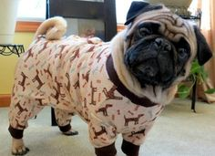 This pug who wants to know why you don't have your pajamas on yet. | 17 Dogs All Cozy In Their Christmas Pajamas