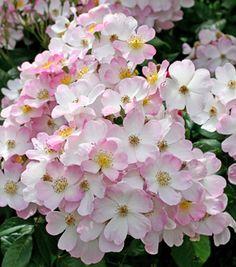 Lyda shrub rose 3-4 feet with honey scent.