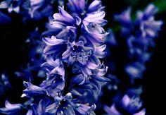 floral art photography | art prints | blue delphiniums | flowers