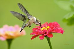 """Hummingbirds Print featuring the photograph Waiting In The Wings by Christina Rollo. Sold a fine art print of """"Waiting in the Wings"""" hummingbird thanks to a collector from Avon, OH!   http://rollosphotos.com/featured/waiting-in-the-wings-christina-rollo.html"""