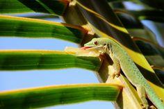 Taggecko - Sansibar
