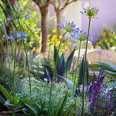 This is ethereal - agapanthus, artemsia silver queen, society garlic, purple salvia, agave behind, white jupiters beard.  And some sort of boxwood-y shrub on the left...
