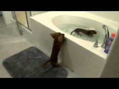 Cute mini Dachshunds excited it's bath time (VIDEO) » DogHeirs | Where Dogs Are Family « Keywords: bath time, bath, tub, Miniature dachshunds. http://pinterest.com/offsite/?token=895-501=http%3A%2F%2Fwww.dogheirs.com%2Fgeorge%2Fposts%2F3960-cute-mini-dachshunds-excited-it-s-bath-time-video%236zKpri85BGa2AoQ0.32
