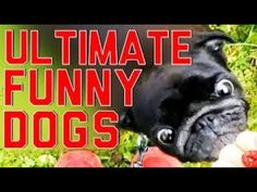 Every dog has its day. to act completely foolish. Here at FailArmy, we've put all the funniest dog fails, goofy dog behavior, and strange dog antics we cou. Funny Dog Fails, Funny Cats And Dogs, Funny Dog Videos, Funny Animals, Super Funny, Funny Cute, Hilarious, Goofy Dog, Funny Memes About Girls