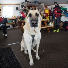 """Lutsen, German Shepherd (4 y/o), Lone Mountain Peak, Big Sky, MT • """"He's never had to, but he's trained to search and rescue avalanche victims."""" @lutsen_dog"""