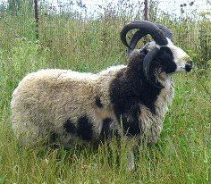 Jacob sheep -- heritage spinning fleece breed