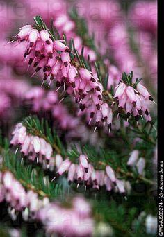 51 Best Heath Heathers Images Heather Orourke Bloom Bright Green