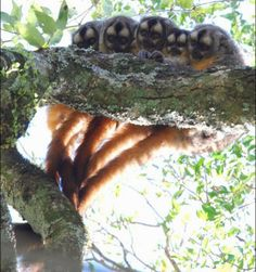 Owl Monkeys Rate Among the Animal World's Best Mates and Fathers