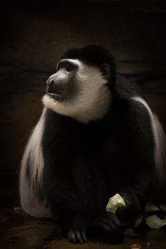 Black And White Colobus Monkey.
