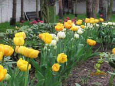 tulipany piwoniowe