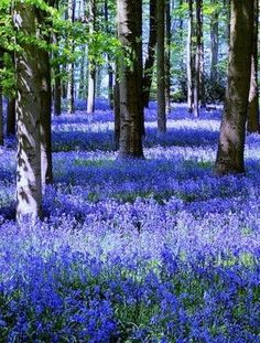 This photo from Northamptonshire, England is titled 'More - Bluebells'. Beautiful World, Beautiful Images, Beautiful Gardens, Beautiful Flowers, Blue Bell Flowers, Wild Flowers, Blue Bell Woods, Spring Scenery, Woodland Flowers