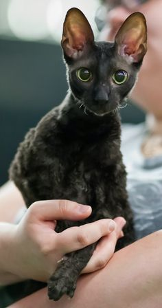 Health Problems in Cornish Rex Cats Click the picture to read