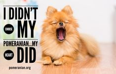 Marvelous Pomeranian Does Your Dog Measure Up and Does It Matter Characteristics. All About Pomeranian Does Your Dog Measure Up and Does It Matter Characteristics. Pomeranian Puppy, Chihuahua, Pomeranian Memes, Small Pomeranian, Hero Of The Day, Johnny Mathis, Save A Dog, Companion Dog, Lap Dogs