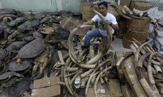 Corruption among wildlife rangers : Illegal Ivory trade coming from Tanzania in Philippines Turtle Store, Racing Extinction, Ivory Trade, Enjoying The Sun, Trees To Plant, Ranger, Wildlife, Tanzania, Filipino