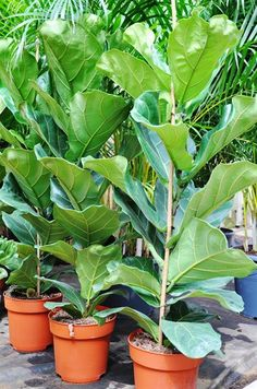 ficus robusta kamerplant chicplants flowers plants pinterest. Black Bedroom Furniture Sets. Home Design Ideas