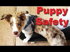 Puppy Safety - Every puppy owner should know this - Dog training videos - YouTube