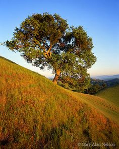 Mount Diablo State Park, California, oak tree photo