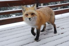 Snow Cute Fox | Flickr - Photo Sharing!