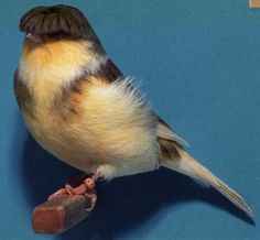 The Gloster Canary has a natural bowl-cut ... FAB!