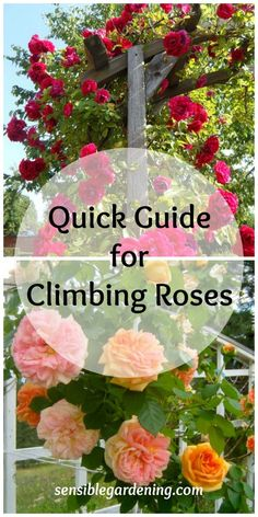 Climbing roses with Sensible Gardening. How to grow and prune.