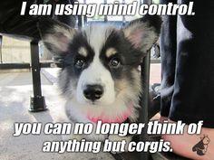 Ha! #corgi