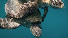 Tortuga Rising by Orion Magazine. Neil Osborne's photographs of sea turtles and their rescuers on Mexico's Pacific coast. The slide show is narrated by Dr. Wallace J. Nichols, who has spent the past twenty years successfully rescuing these ancient mariners from near extinction.